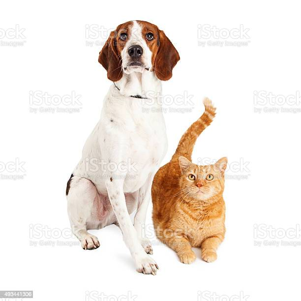 Hound dog and orange cat together picture id493441306?b=1&k=6&m=493441306&s=612x612&h=qeels tmna1v ktyopxqy8ab2 i 3q6hkmencqwcmvo=