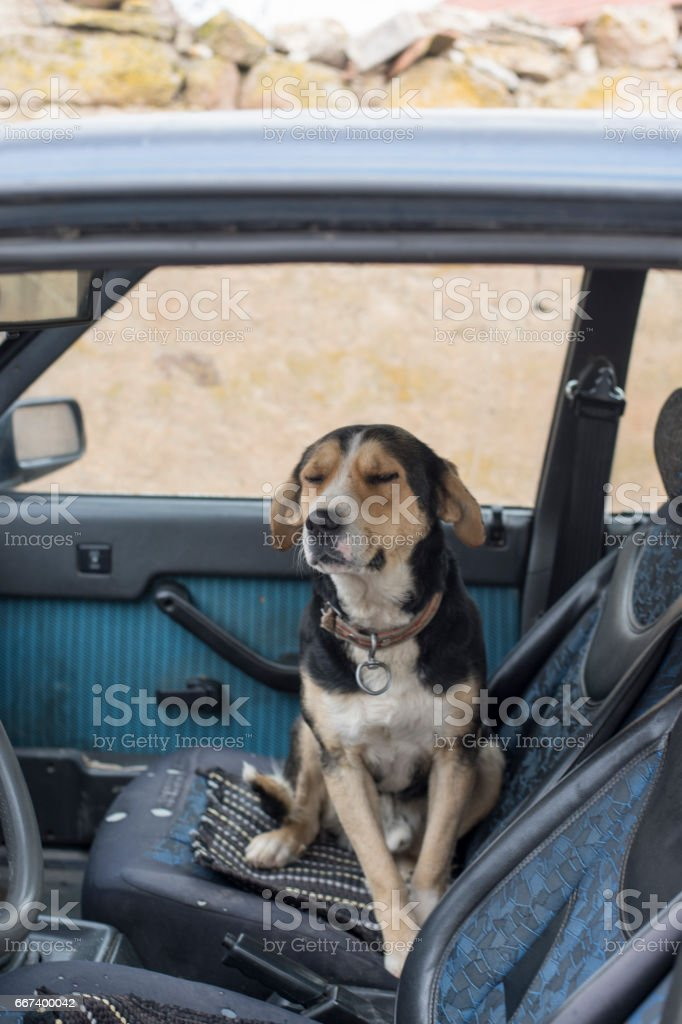 Hound dog is ready to go hunting in Eskisehir, Turkey stock photo