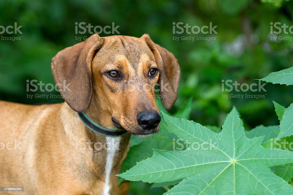 Hound Dog stock photo