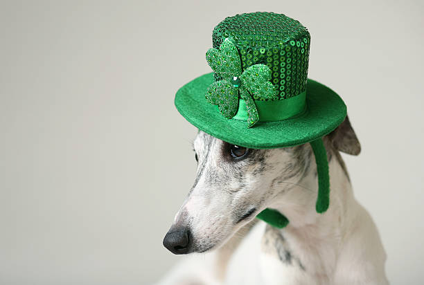 Hound Dog Wears St. Patrick's Day Hat A sight hound down wears a green St. Patrick's Day hat. sight hound stock pictures, royalty-free photos & images