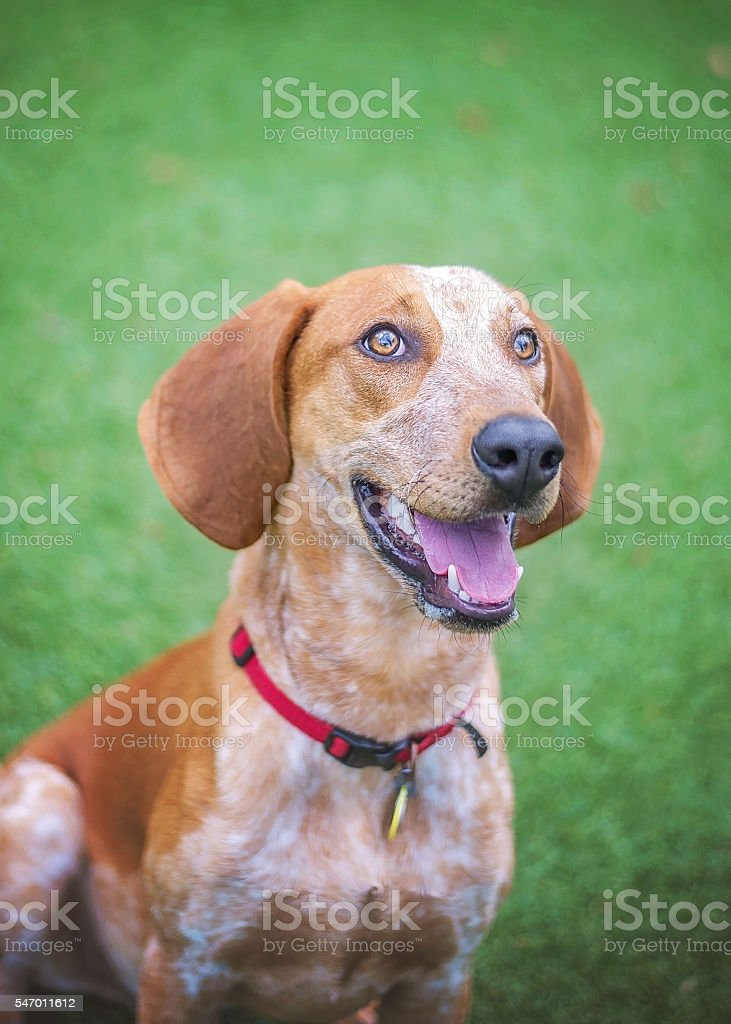 Hound Mix in Shelter stock photo