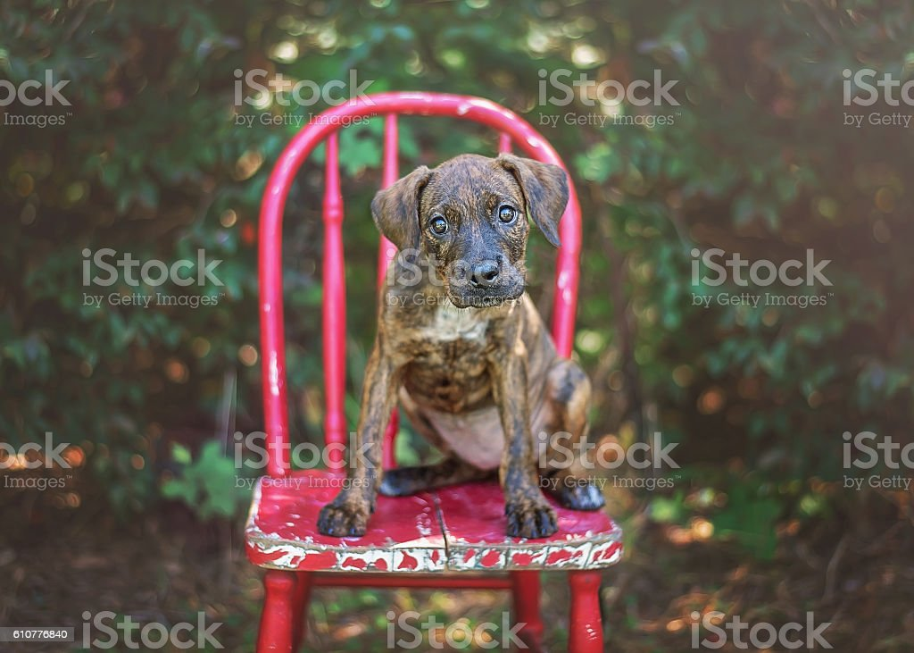 Hound Mix Puppy on Red Chair stock photo