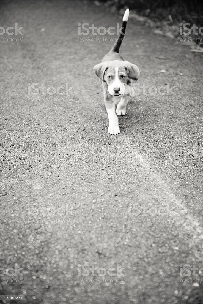 Hound Puppy royalty-free stock photo