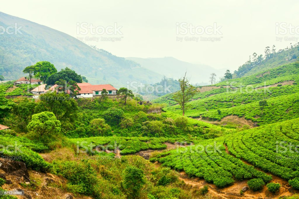 House among the plantations of green tea stock photo