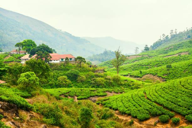 House among the plantations of green tea stock photo