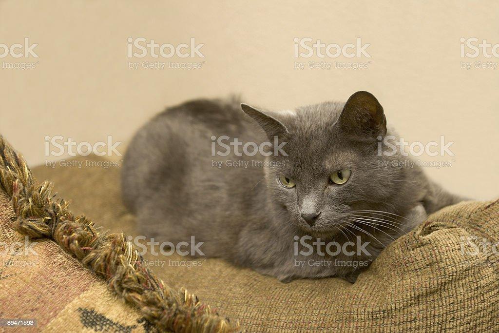 House Cat Lizenzfreies stock-foto