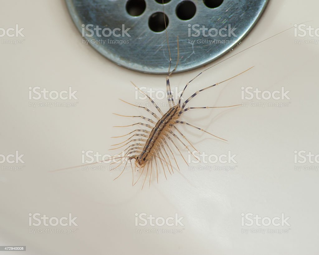 House centipede stock photo
