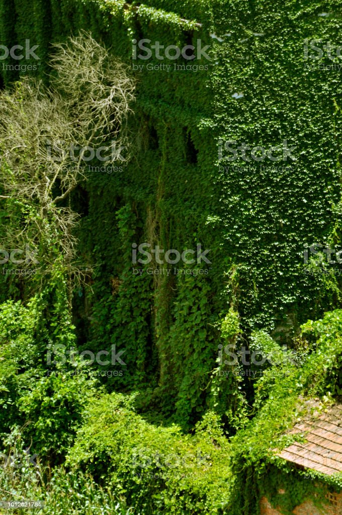 House Covered In Ivy stock photo