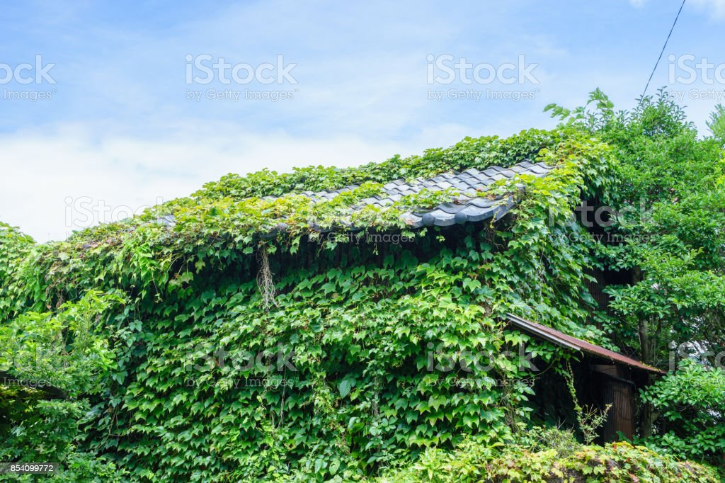 House covered with ivy stock photo