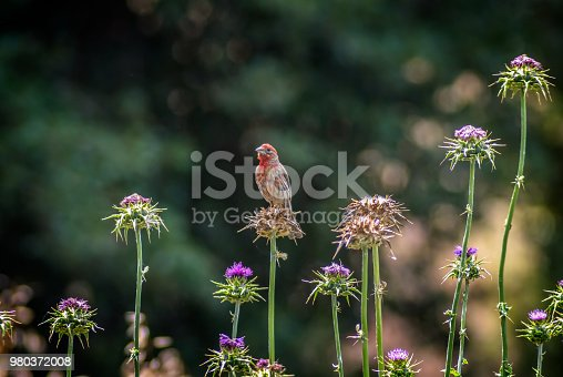 House finch bird perched on thistle wildflower in California; selective focus.