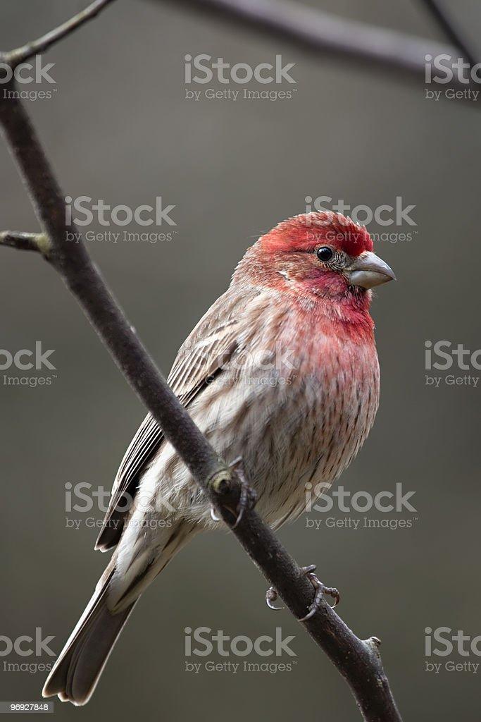 House Finch bird royalty-free stock photo
