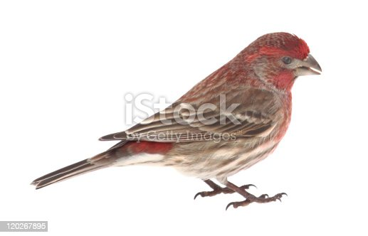 Male house finch, Carpodacus mexicanus, isolated on white