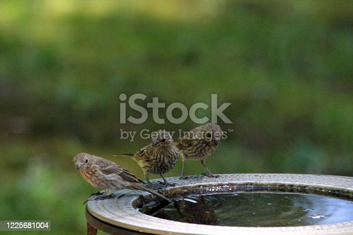 A family of house finch take a break around the bird bath.
