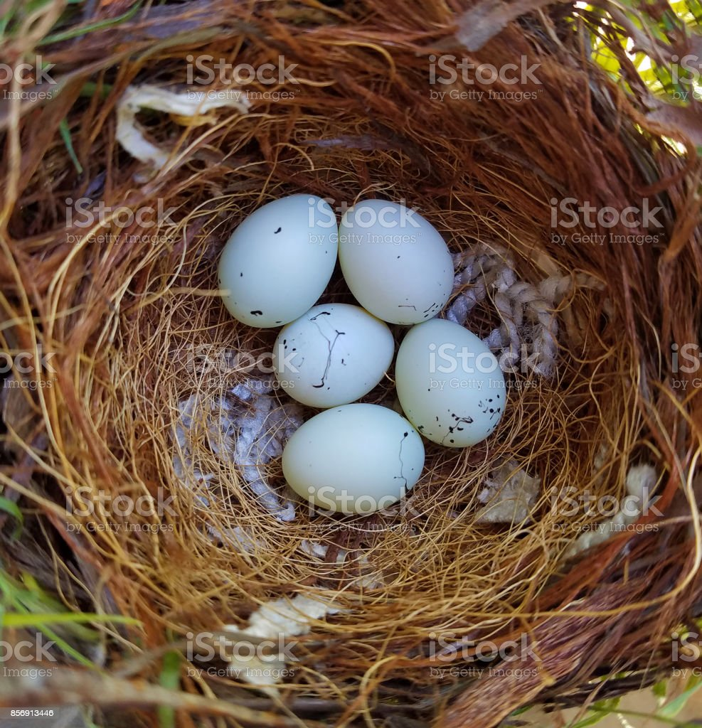 House Finch Eggs stock photo