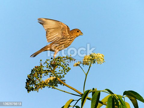 A female house finch (Haemorhous mexicanus) starting to takeoff from top of plant. In the Willamette Valley of Oregon.