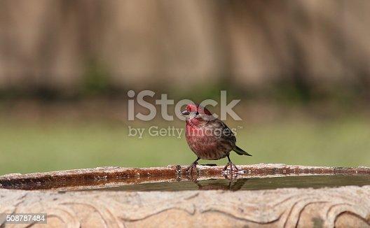 a house finch on the edge of a birdbath, getting a drink