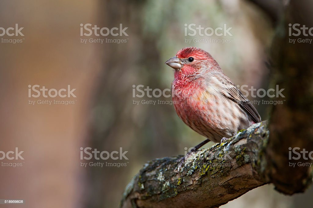 House Finch (Haemorhous mexicanus) male on branch, Amherst Island, Canada stock photo