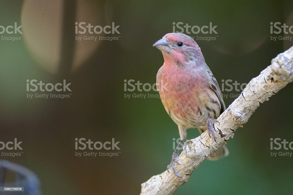 House finch perched foto royalty-free