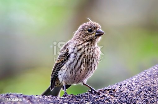 House finch perched on a branch in Kona Hawaii