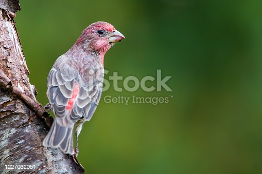 A male house finch perched on a tree.  Notice the berry stained bill from eating fresh berries.