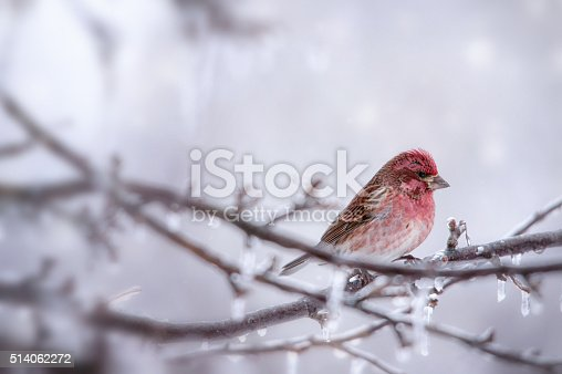 A red house finch sitting in a tree