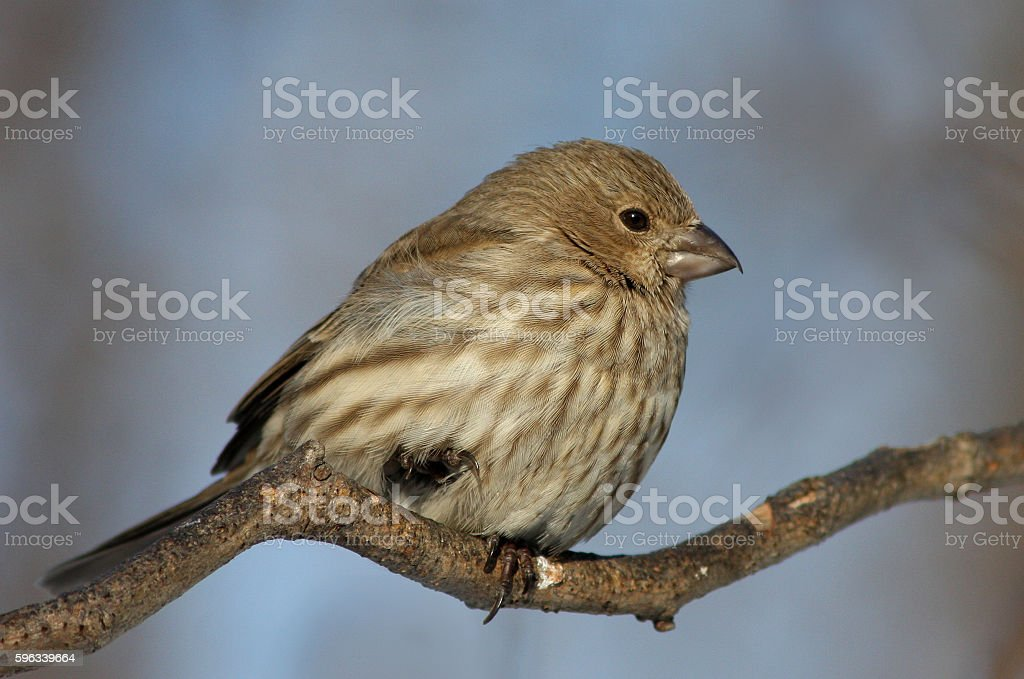 House Finch royalty-free stock photo