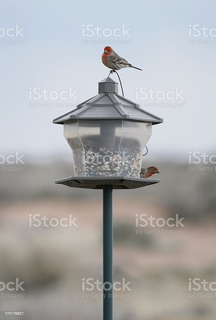 House Finches Two house finches on a bird feeder. Animal Stock Photo