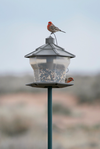 House Finches Stock Photo - Download Image Now