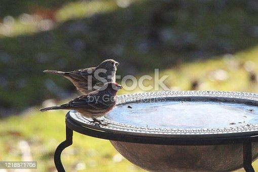House Finches Visit Frozen Birdbath.