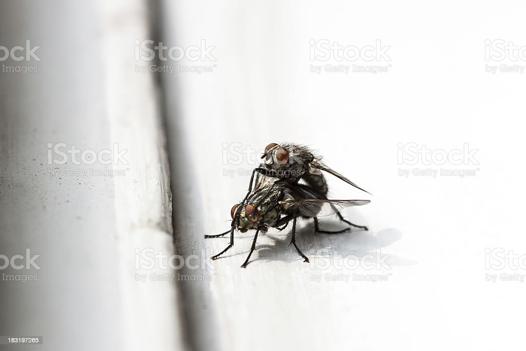 House flies mating royalty-free stock photo