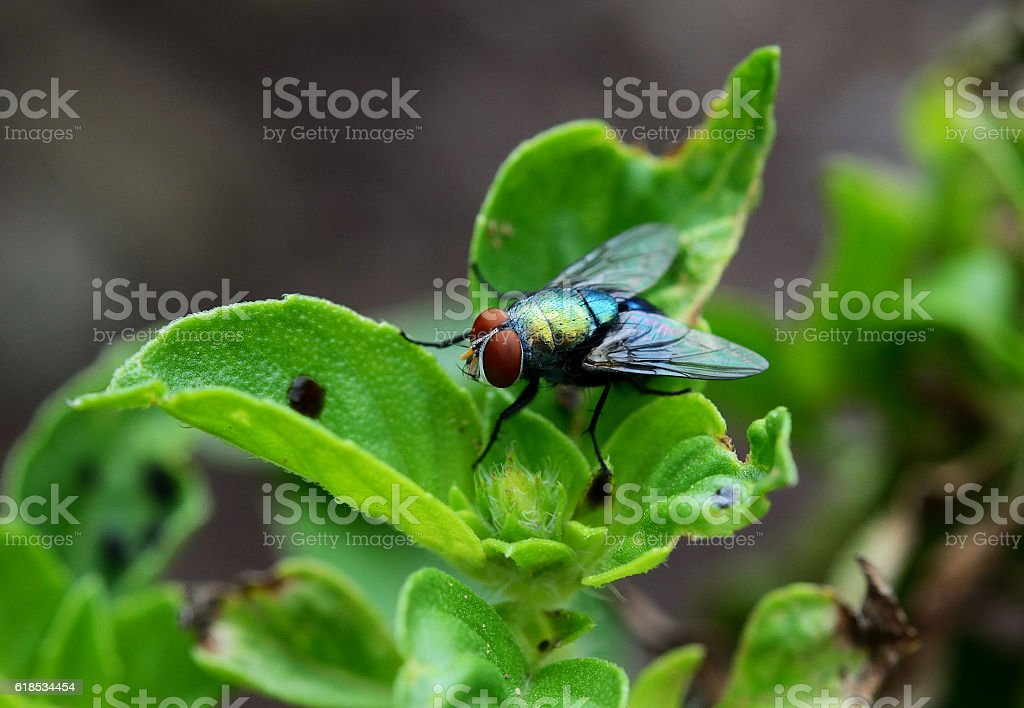 house fly(flies) close up sitting on green leaf stock photo