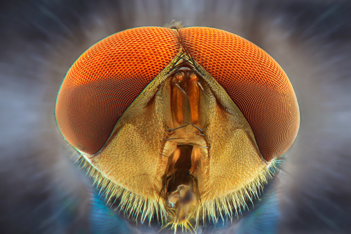 House fly extreme closeup