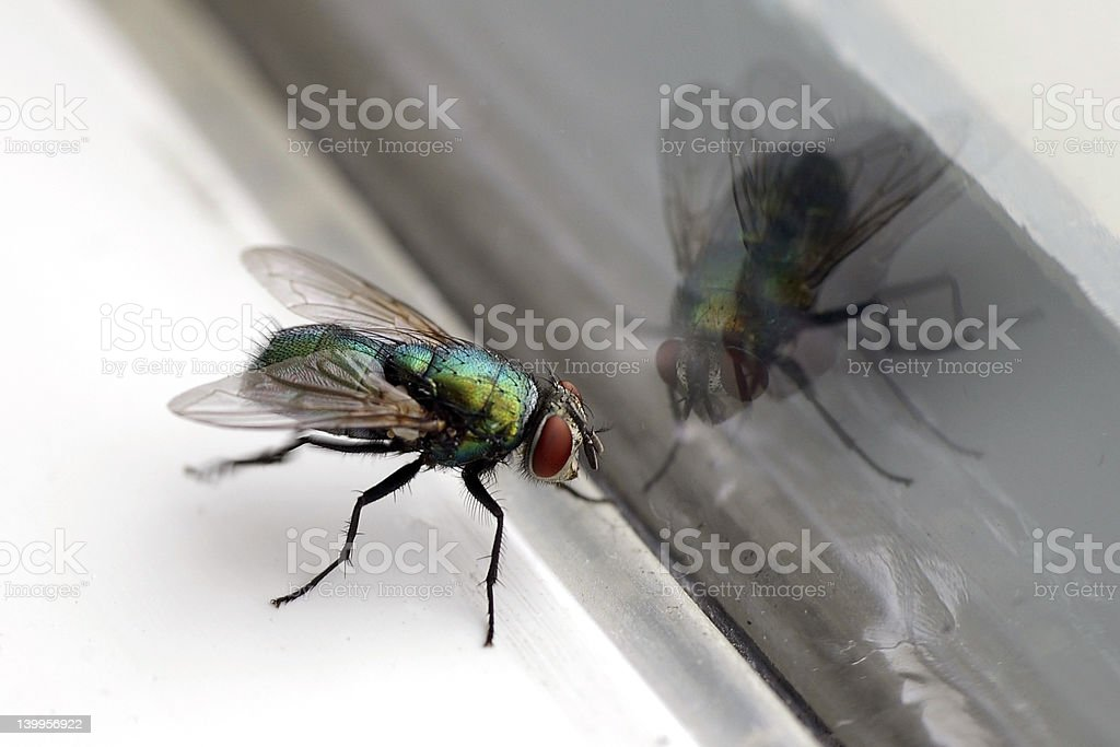 House Fly & Glass Reflection Closeup stock photo