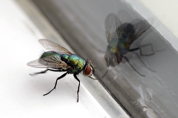 House Fly & Glass Reflection Closeup Closeup of a housefly with its reflection in a glass window fly insect stock pictures, royalty-free photos & images