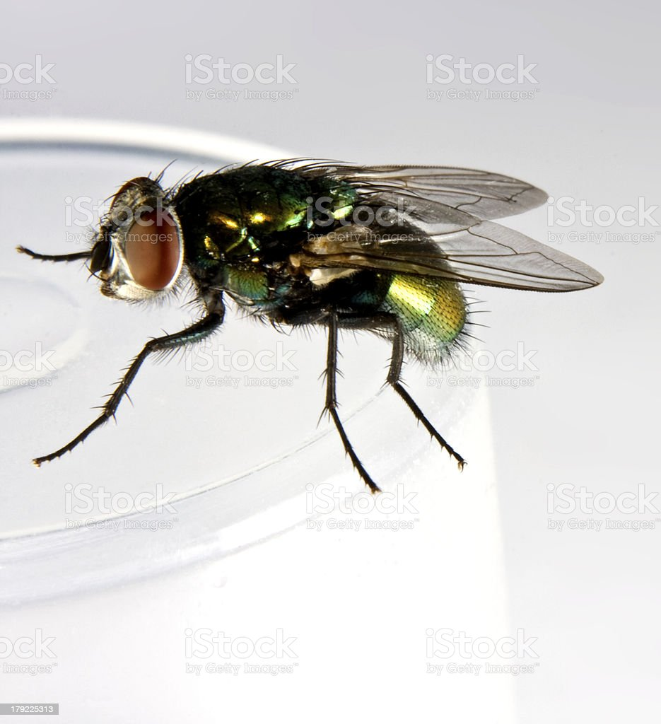 house fly in close up shot stock photo
