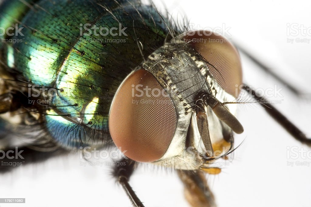 house fly in extreme close up stock photo
