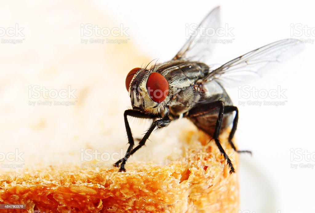 house fly on a slice of bread stock photo