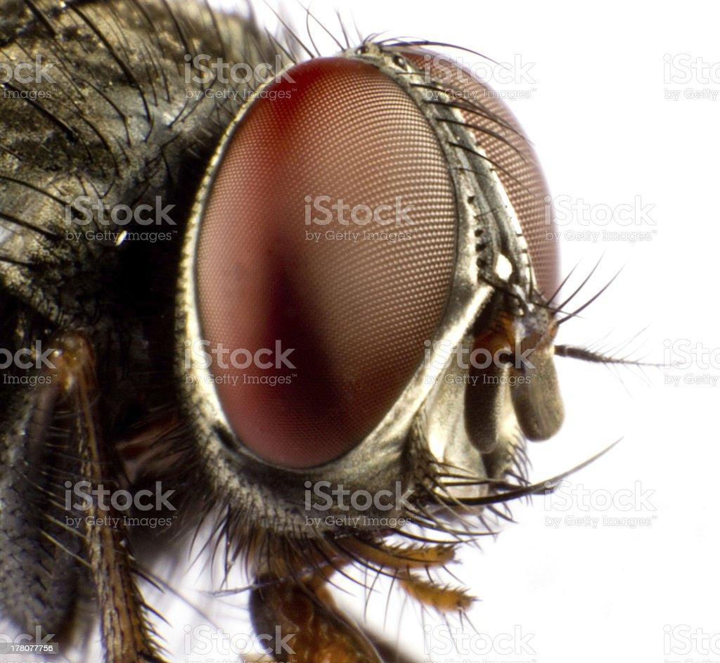 house fly royalty-free stock photo