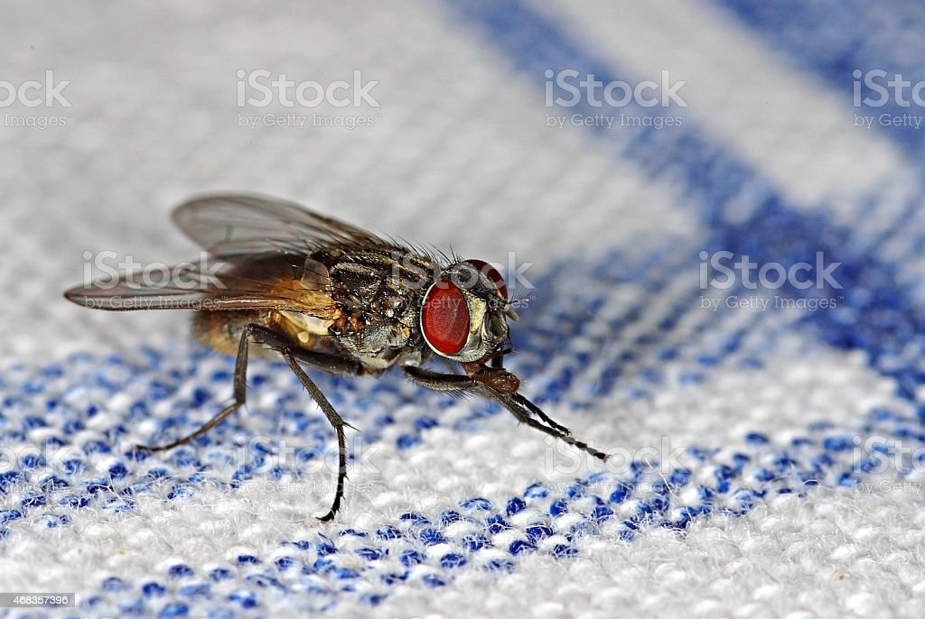 House fly (Musca domestica) royalty-free stock photo