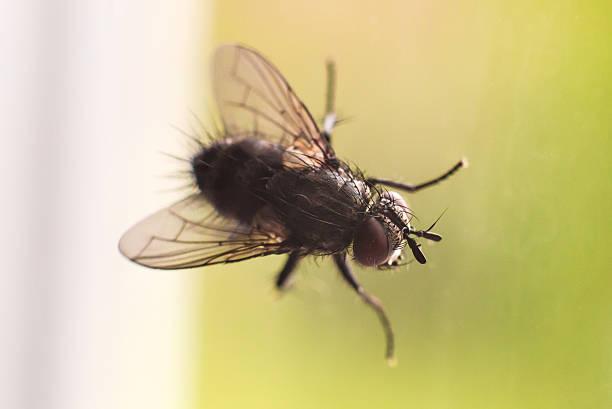 Cтоковое фото Комнатная муха
