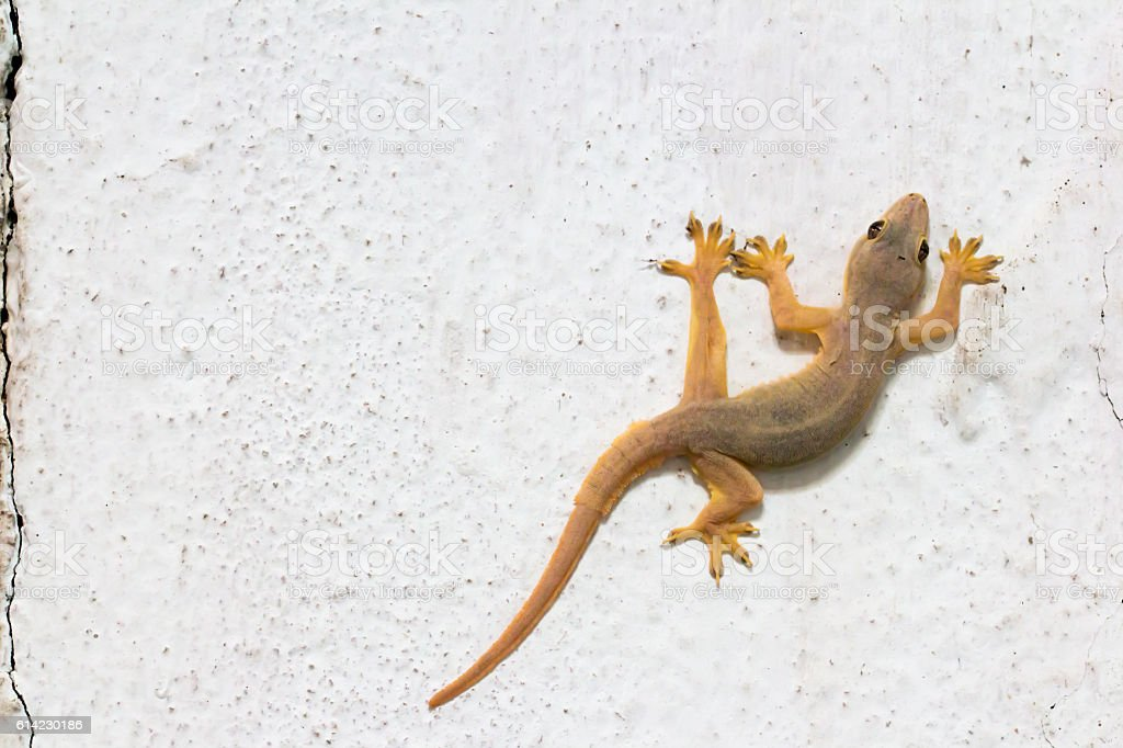 House gecko on wall stock photo