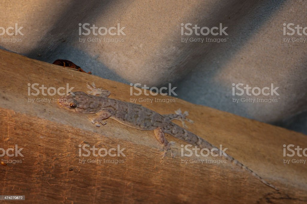 House gecko trying to hide stock photo