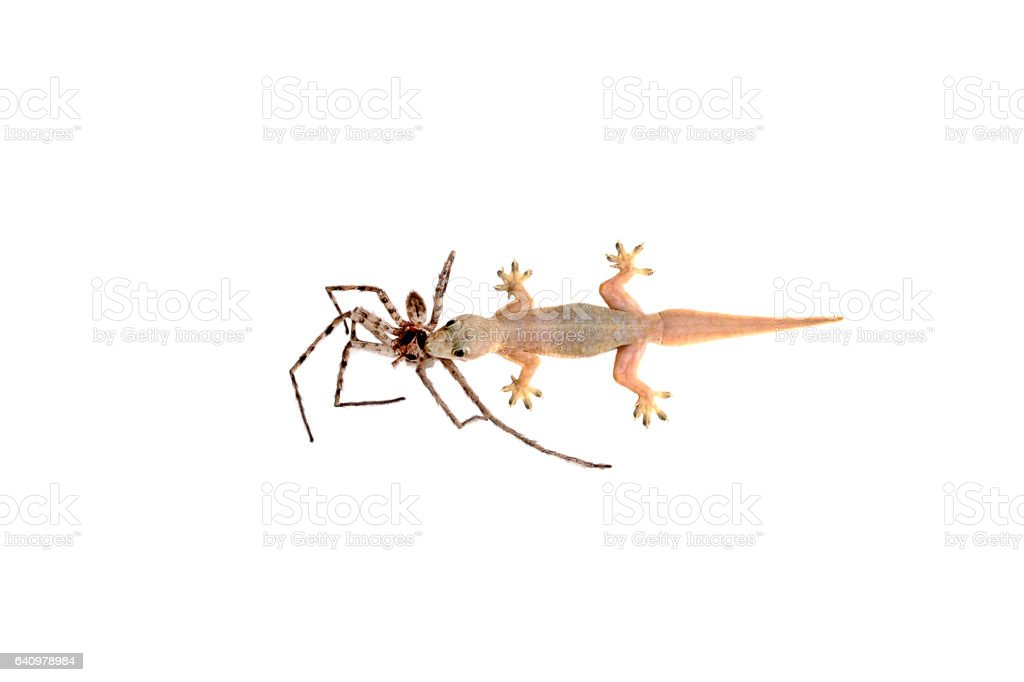 House lizard eating spider stock photo