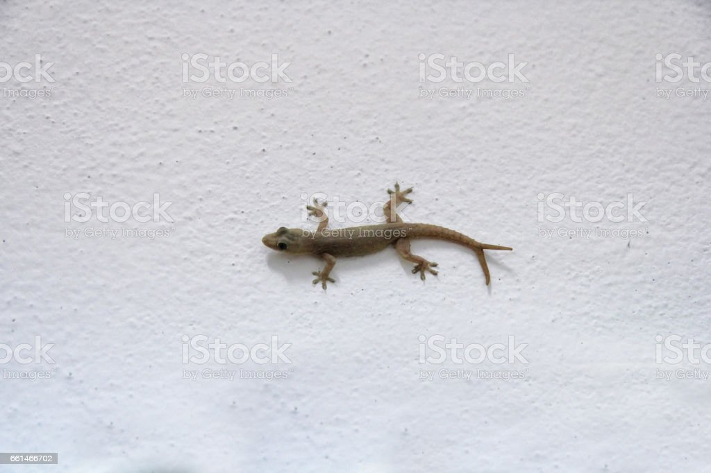 House lizard - gekco with v shaped tails ( 2 tails or twin tails ) on the white wall stock photo