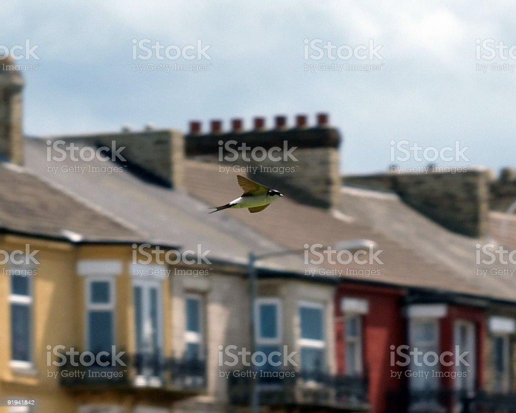 House Martin (Delichon urbica) royalty-free stock photo
