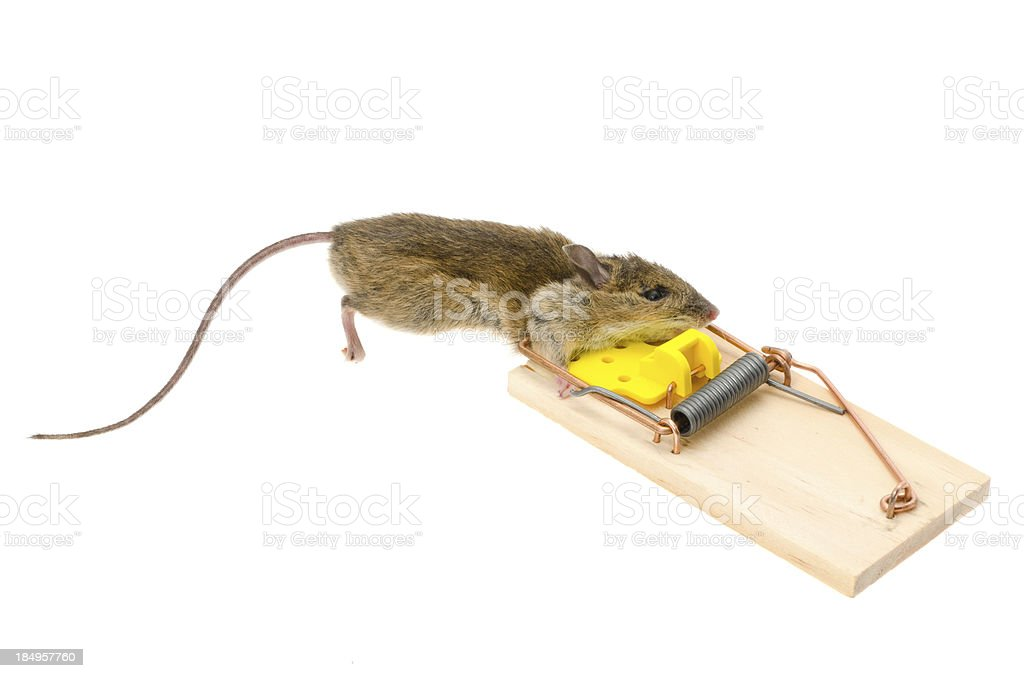 House mouse caught in a mousetrap royalty-free stock photo