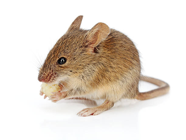 House mouse eating cheese (Mus musculus) stock photo
