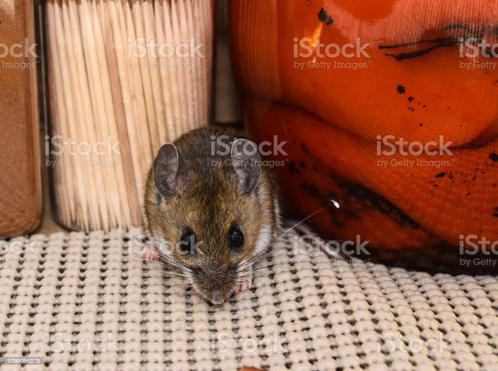 A House Mouse Facing Forward In Front Of Food In A Kitchen ...