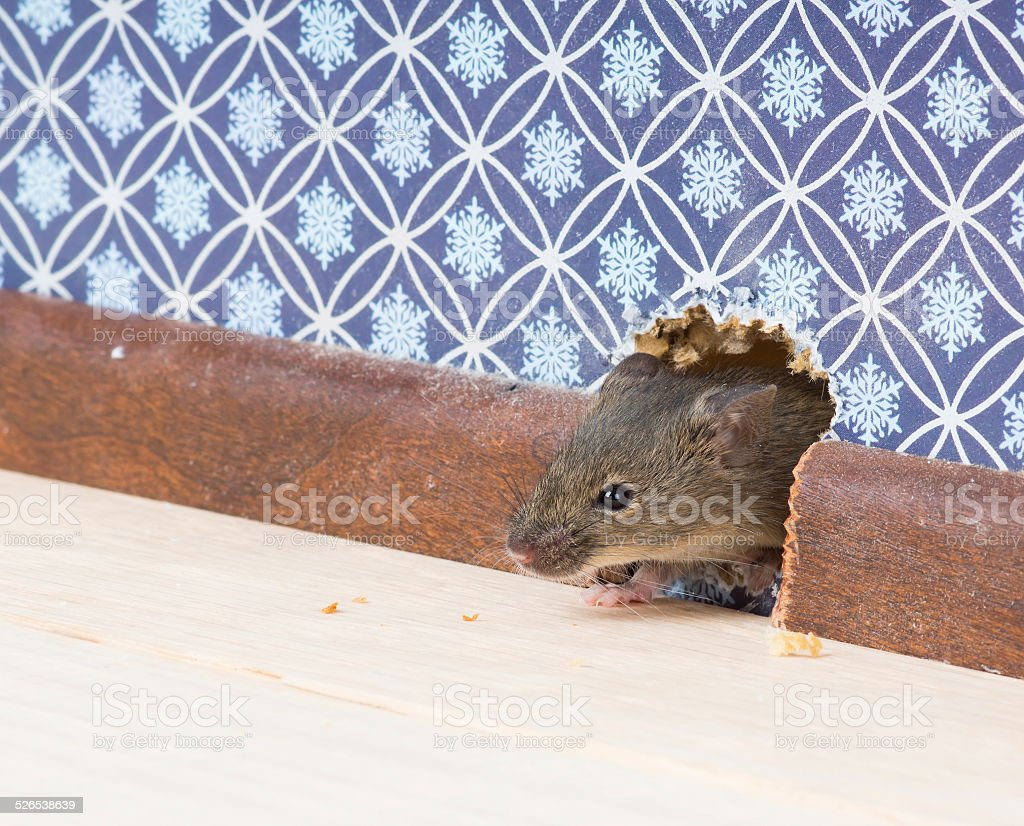 house mouse gets into  room through hole in wall stock photo