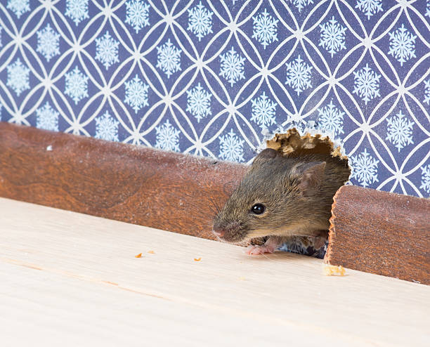 house mouse gets into  room through hole in wall Vulgaris house mouse (Mus musculus) gets into the room through a hole in the wall rodent stock pictures, royalty-free photos & images